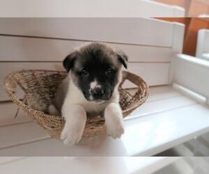 Akita Puppy for sale in DETROIT, MI, USA