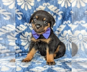 Rottweiler Puppy for sale in GLEN ROCK, PA, USA