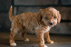 Cavapoo Puppy For Sale in KENT, OH, USA