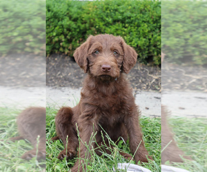 Labradoodle Puppy for sale in GLENMOORE, PA, USA