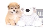 Pomeranian-Poodle (Toy) Mix Puppy For Sale in NAPLES, FL