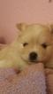 Full breed pomeranian puppy