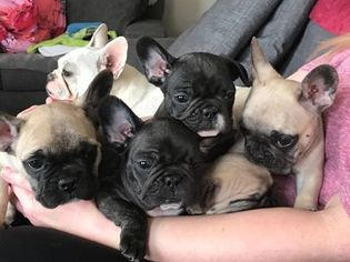 French Bulldog Puppy For Sale in YUCAIPA, CA, USA