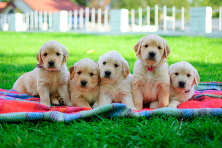 Golden Retriever Puppy For Sale in MESA, AZ