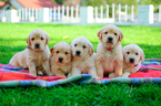 Beautiful AKC Golden Retriever puppies