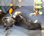 Image preview for Ad Listing. Nickname: Puppy #2 Thor