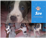Puppy 9 American Pit Bull Terrier