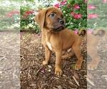 Puppy 2 Boxer-Catahoula Leopard Dog Mix