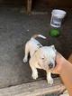American Bulldog Puppy For Sale in JURUPA VALLEY, CA, USA