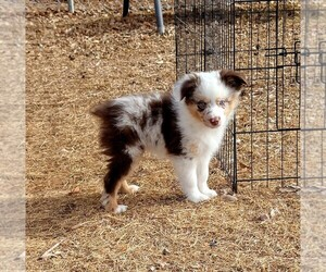 Miniature Australian Shepherd Puppy for Sale in AUSTIN, Colorado USA