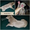 Great Dane Puppy For Sale in LAUREL, MT,