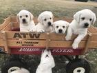 Labrador Retriever Puppy For Sale in CAMBY, IN, USA
