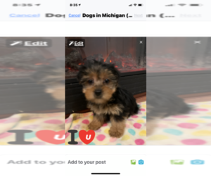Yorkshire Terrier Puppy for sale in MOUNT CLEMENS, MI, USA