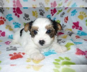 Puppies for Sale near Phoenix, Arizona, USA, Page 5 (10 per page