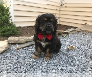 Cocker Spaniel Dog for Adoption in NARVON, Pennsylvania USA
