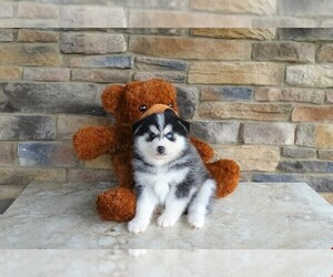 Pomsky Puppy for sale in AMITY, NC, USA