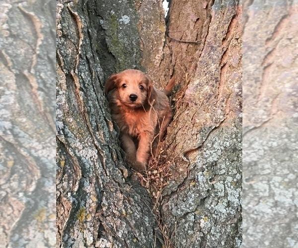 Medium Photo #1 Goldendoodle (Miniature) Puppy For Sale in ARCOLA, IL, USA