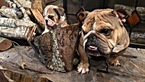 English Bulldogge Puppy For Sale in LOCUST GROVE, GA, USA