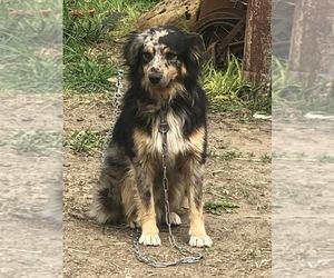 Australian Shepherd Puppy for sale in MELROSE, WI, USA