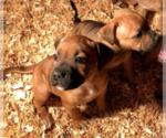Puppy 6 Staffordshire Bull Terrier