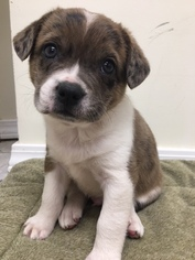 Australian Shepherd-French Bulldog Mix Puppy For Sale in WEST PLAINS, MO, USA