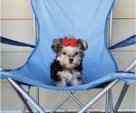 Morkie Puppy For Sale in SANTA CLARITA, CA, USA