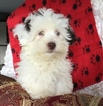 Havanese Puppy For Sale in WARSAW, NY, USA