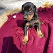 Doberman Pinscher Puppy For Sale in ORANGE LAKE, Florida,