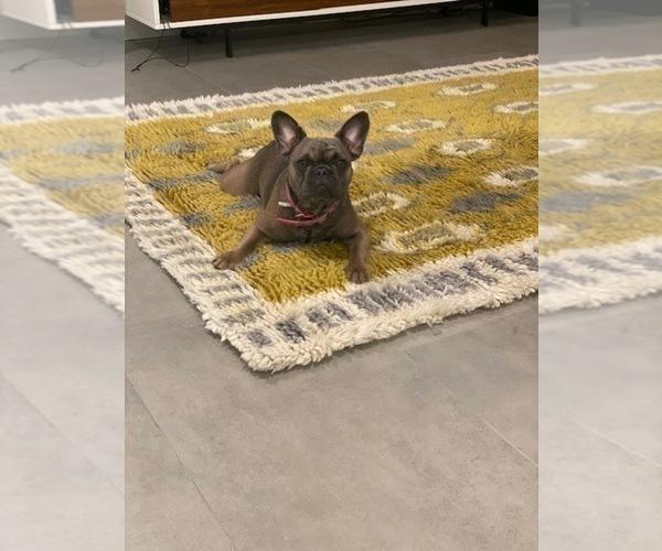 Medium Photo #1 French Bulldog Puppy For Sale in TAMPA, FL, USA
