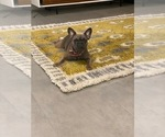 Small Photo #1 French Bulldog Puppy For Sale in TAMPA, FL, USA