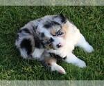 Puppy 4 Miniature American Shepherd
