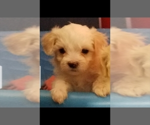 Maltipoo Puppy for sale in SPENCER, NC, USA