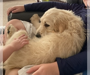 Goldendoodle Puppy for sale in SALT LAKE CITY, UT, USA