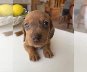 Dachshund Puppy for sale in ELFERS, FL, USA
