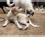 Small #14 Anatolian Shepherd-Maremma Sheepdog Mix