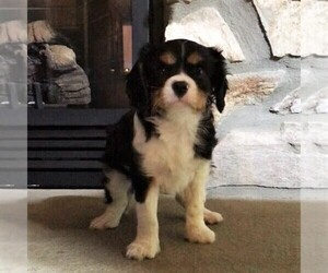 Cavalier King Charles Spaniel Puppy for sale in PARKESBURG, PA, USA