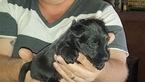 Puppy 1 Scottish Terrier