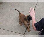 Puppy 2 America Bandogge Mastiff