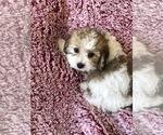 Puppy 5 Cavachon
