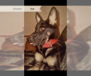 Father of the German Shepherd Dog puppies born on 07/09/2019