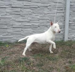 Miniature Bull Terrier Puppy for sale in Bratislava, Bratislavsky, Slovakia