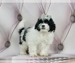 Puppy 4 ShihPoo
