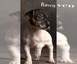 Puppy 3 Jack Russell Terrier