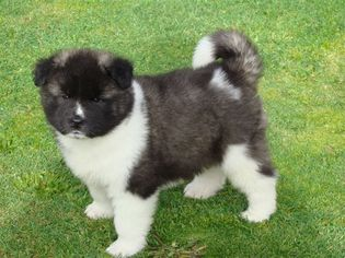 View Ad Akita Puppy For Sale Near Florida Fleming Island Usa Adn
