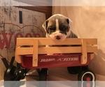 Puppy 8 Olde English Bulldogge