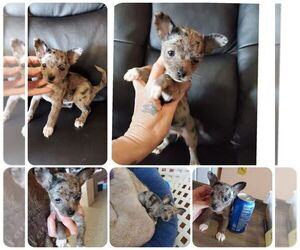 Chiranian Puppy for sale in KENDALL, WI, USA