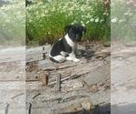 Puppy 5 Border Collie-Unknown Mix