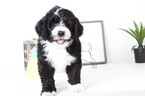 Bernedoodle Puppy For Sale near 34104, Naples, FL, USA