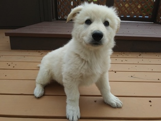 German Shepherd Dog Puppy For Sale in CORNING, CA, USA