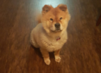 Chow Chow Dog For Adoption in SAN ANTONIO, TX
